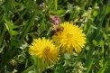 Fotografia: Včielka na púpave, fotograf: Susanna  Včelková, tagy: foto