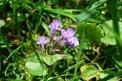 Fotografia: fialovy kvet, fotograf: Balazs Nagy, tagy: kvet,kvety,fialovy,trava