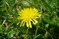 Fotografia: osamelá púpava, fotograf: Balazs Nagy, tagy: púpava,zlty,kvety,kvet