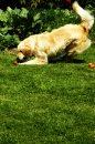 Fotografia: Mám Ťa!, fotograf: Dominika Koroncziová, tagy: pes, tráva,