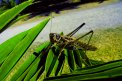Fotografia: kobylka relaxuje na palmovom liste, fotograf: Michal Zigo, tagy: kobylka