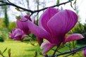 Fotografia: Magnólia - kvet kvetov, fotograf: Viktor Šulák, tagy: magnolia, arboretum, kvety