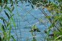 Fotografia: Letné jazero , fotograf: Miroslava  Kamenická, tagy: trávy, jazero, leto
