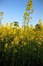 Fotografia: Keď polia zakvitnú žltou..., fotograf: Paulína Schneidrová, tagy: repka