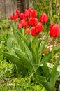 Fotografia: Cervene tulipany, fotograf: Filip Ogurcak, tagy: tulipan, cervena,