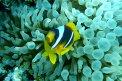 Fotografia: rybka v sasanke, fotograf: Peter Hlavaty, tagy: ryba, more, sasanka