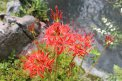 Fotografia: Higanbana kvetina zo záhrobia, fotograf: Dusan Poizl, tagy: Lycoris radiata,kvet