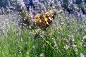 Fotografia: Motýľ na levanduľovom poli, fotograf: Karolina Sabolova, tagy: motýľ, levaduľa