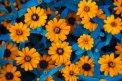 Fotografia: Prechádzka s Heliosom, fotograf: Denis Goga, tagy: helios, kvety, orange, blue