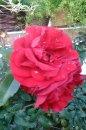 Fotografia: Kvetina, fotograf: Filip Slimák, tagy: Kvetina, ruža, červená