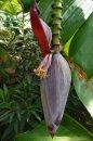 Fotografia: Kvet banánovníka, fotograf: Lýdia Šimková, tagy: Kvet, banánovník,