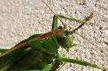 Fotografia: Kobylka zelená, fotograf: Lýdia Šimková, tagy: Kobylka, príroda, hmyz