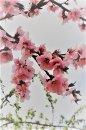 Fotografia: Kvety susedovej čerešne, fotograf: Silvia Budayová, tagy: kvety, záhrada, jar, farebný