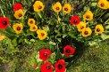 Fotografia: Tulipány v záhradke., fotograf: Julianna Langová, tagy: tulipany, kvety