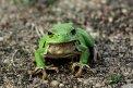 Fotografia: Rosnička zelená, fotograf: Susanna  Včelková, tagy: žaba