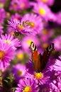 Fotografia: Stretnutie, fotograf: Drahoš Zajíček, tagy: kvety, hmyz