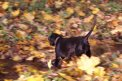 Fotografia: Nelinka a javorové listy, fotograf: Peter Vojtek, tagy: neli, pes, jeseň, Rudohorie, javorový list, potok