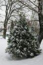 Fotografia: Zasnežený stromček, fotograf: Lukas Vladovic, tagy: Stromček, sheh, zasmežený