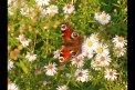 Fotografia: motýlik, fotograf: Petra Vrablecova, tagy: motyl,priroda