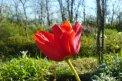 Fotografia: Momentka tulipanu, fotograf: David Bado, tagy: kvety