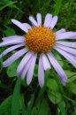 Fotografia: trošku rosy, fotograf: Stefan Schwartz, tagy: mobil, kvety