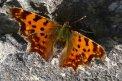 Fotografia: Unavený motýľ oddychuje na starom múre., fotograf: Lýdia Šimková, tagy: motýľ, farebnosť, jemnosť