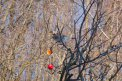 Fotografia: Vták si vychutnáva posledné jablká, fotograf: Peter Hlavaty, tagy: vták, stromy