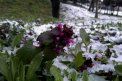 Fotografia: Rozkvitajúci kvet v objatí studeného snehu, fotograf: Filip Slimák, tagy: kvet, sneh,