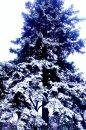 Fotografia: Krásny zasnežený strom v dedinke Limbach, fotograf: Juraj Janušík, tagy: