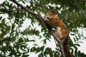 Fotografia: Veverička, fotograf: Lukas Doubravsky, tagy: veverička, listy, konár, pazúre, oranžová, biela, zelená