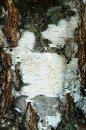 Fotografia: Foto na kôre stromu, fotograf: Lýdia Šimková, tagy: obrázok, strom, breza