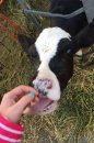 Fotografia: krava, fotograf: Alex Garay, tagy: jazyk